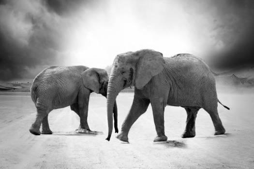 Grayscale Elephant Animals Africa Free Photo #403100