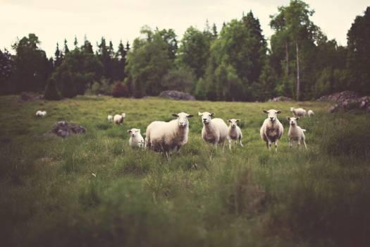 Sheep Field Free Photo Free Photo