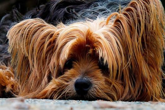 Long Haired Dog Ginger Free Photo #403266