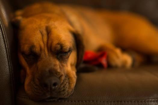 Sleeping Dog Free Photo #403350