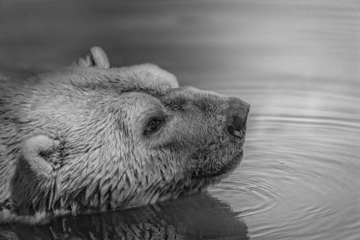 Black White Bear Swimming Free Photo #403610