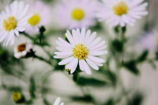 White Flowers Closeup Free Photo #403672