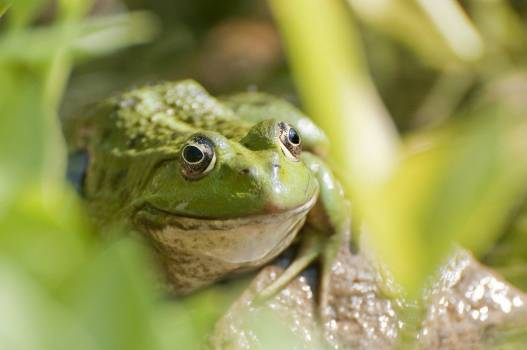 Green Frog Free Photo #403690