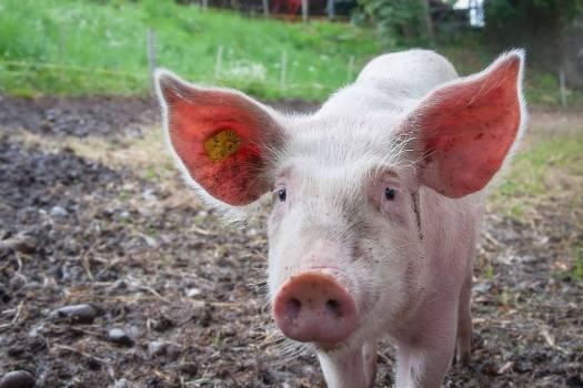 Farm Pig Big Ears Free Photo #403692