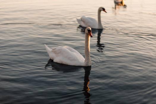 Swan Swimming River Free Photo #403710