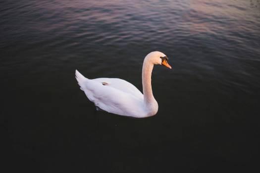 Single Swan Water Free Photo Free Photo