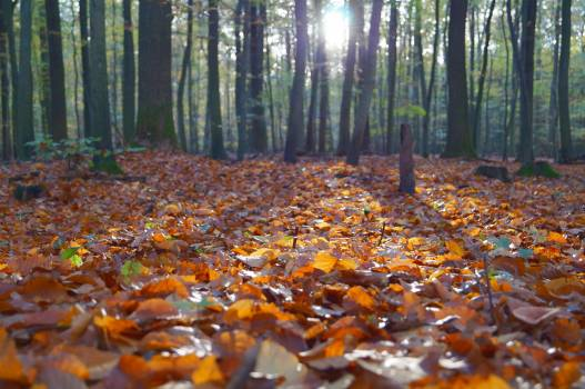 Orange Dry Leaves on the Ground Inside Forest Under Clear Sky Free Photo