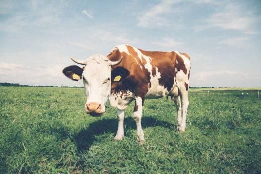 White and Brown Cow in Field Free Photo #403803