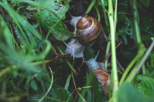 Garden Snails on Leaves Free Photo Free Photo