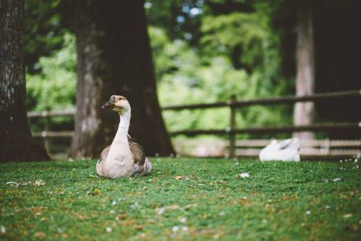 White & Brown Goose on Grass Free Photo #403990