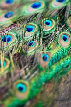 Peacock Peafowl Pheasant #404601