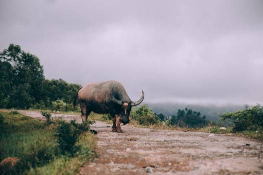 Water Buffalo Tied Along Dirt Road Overlooking Valley #404637