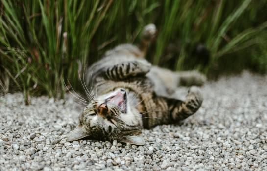 Cat Feline Tiger #404906