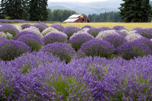 Barn in Field of Flowers Free Photo #404952