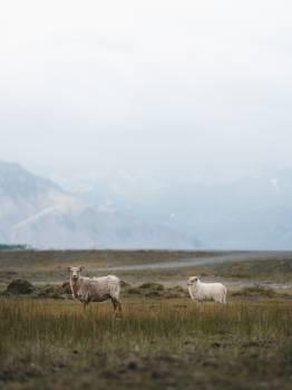 Caribou Deer Grass #405073