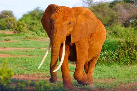 Elephant animal wilderness wildlife #40551