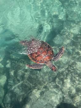 Loggerhead Sea turtle Turtle #405717