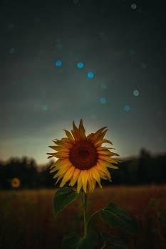 Sunflower Flower Yellow #406013