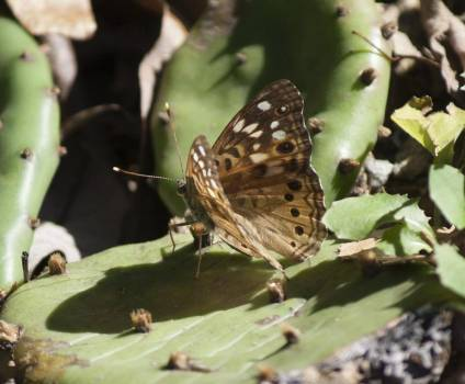 Speckled Wood Butterfly #406115