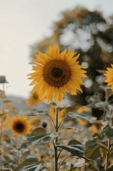 Sunflower Flower Yellow #406359