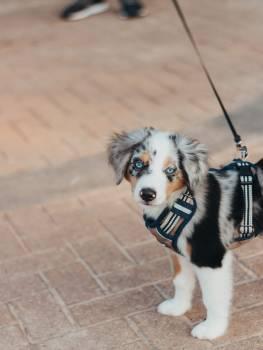 Dog Border collie Canine #406607
