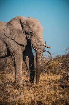 Tusker Elephant Mammal #406621