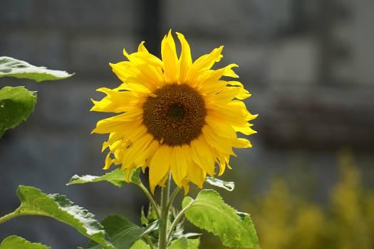 Yellow Sunflower #40666