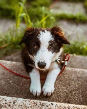Border collie Shepherd dog Dog #406674
