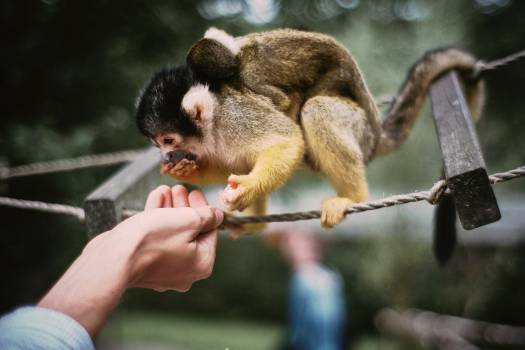 Squirrel monkey Monkey Primate #406719