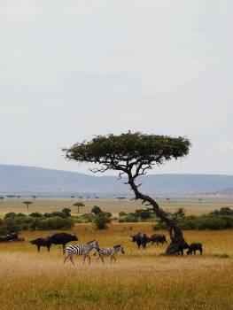 Antelope Impala Ruminant #406732