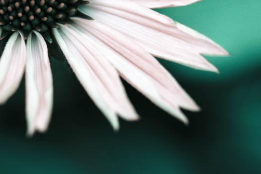 Daisy Flower Petal #407020