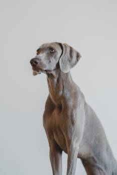 Hound Hunting dog Dog #407503