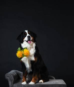 Bernese Mountain Dog With Flowers #407576