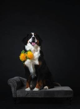 Dog Poses On Couch Wearing Flowers #407577