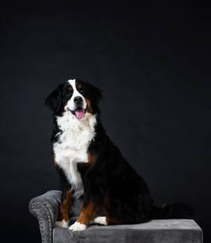Mountain Dog On Chaise Longue #407579