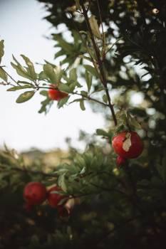 Fruit Hip Tree #407851