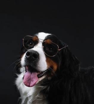 Bernese Mountain Dog Wears Glasses #407893