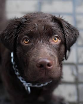 Retriever Dog Sporting dog #407943