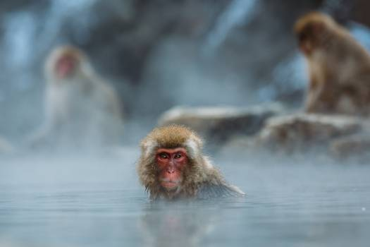 Red Faced Monkey on Body of Water Photo #40799