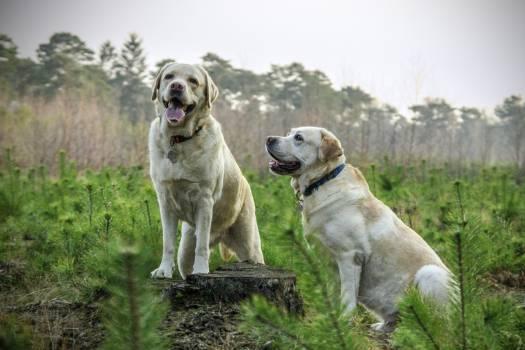 Animal labrador animals dogs #40809