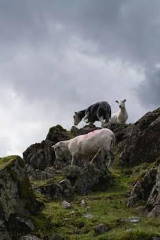 Ram Sheep Ruminant #408684