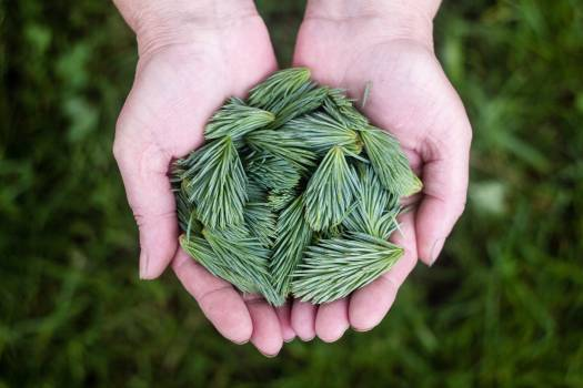 Pine Leaves Green #408741