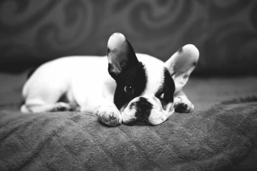 bulldog #408762