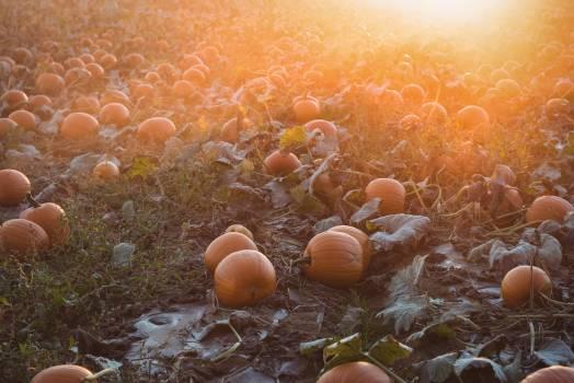 View of pumpkin field #408841