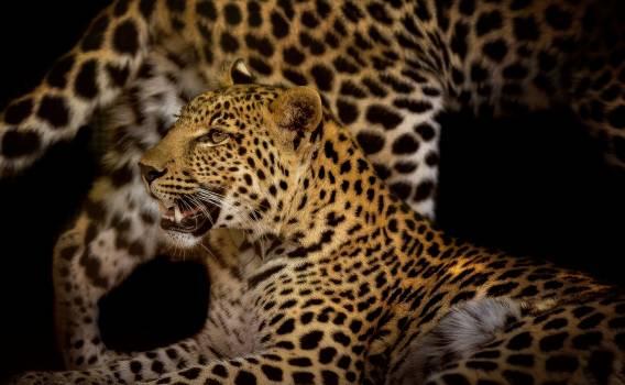leopard #408847