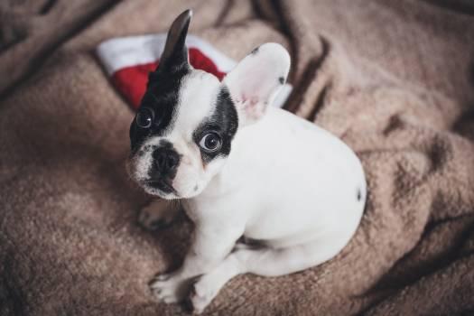 Cute French Bulldog Free Photo #408855