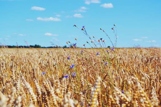 Wheat Field Blue Sky Free Photo #408879