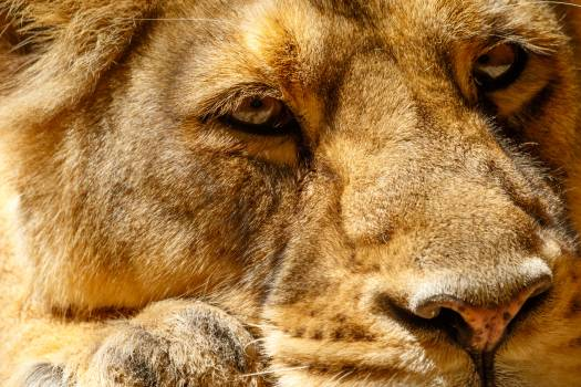 Lioness head #408896