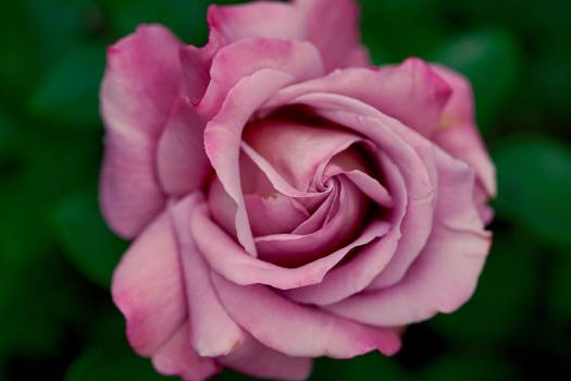 Pink Roses #408914