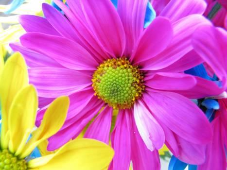 Daisy Flowers Pink Free Photo